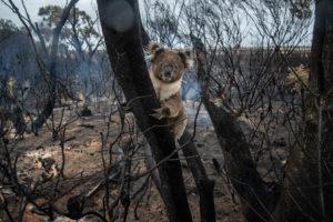koala rests in burnt tree