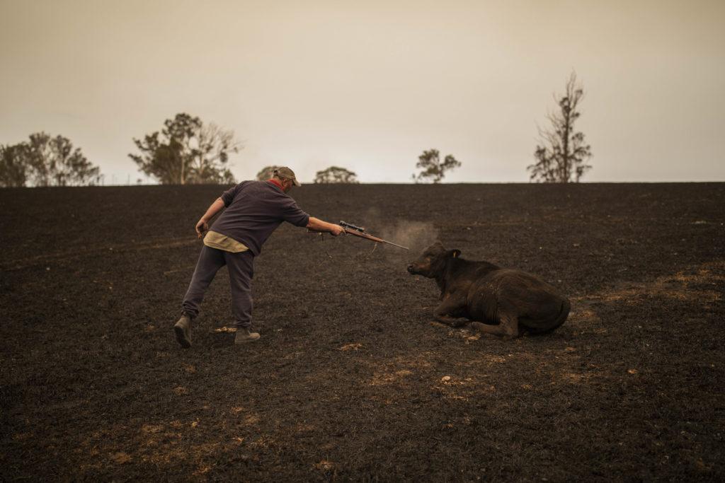 wide shot of farmer shooting calf in burned paragraph